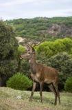 大型装配架鹿年轻人 库存图片