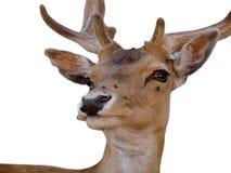 大型装配架鹿年轻人 免版税库存图片