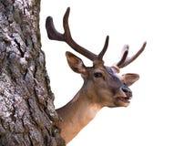大型装配架鹿年轻人 库存照片