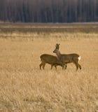 大型装配架鹿母鹿獐鹿 库存照片