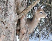大型装配架鹿白尾鹿冬天 免版税图库摄影