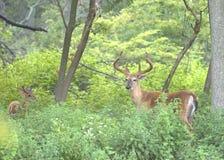 大型装配架鹿白尾鹿 免版税库存照片