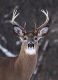 大型装配架鹿被盯梢的白色 免版税库存照片
