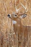 大型装配架鹿被盯梢的白色 库存照片