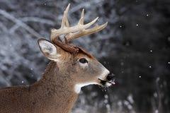 大型装配架鹿被盯梢的白色 库存图片