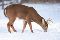 大型装配架鹿被盯梢的白色 免版税库存图片