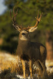 大型装配架鹿骡子战利品 免版税库存照片