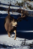 大型装配架鹿骡子战利品 库存照片