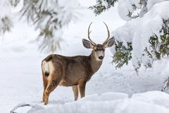 大型装配架鹿骡子雪 库存照片
