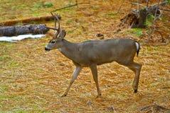 大型装配架鹿骡子年轻人 免版税库存照片