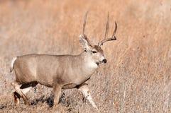 大型装配架鹿骡子 库存图片