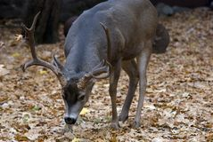 大型装配架鹿骡子 库存照片