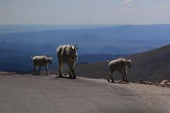 大垫铁山羊母羊和羊羔 库存图片
