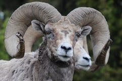 大垫铁绵羊 免版税图库摄影