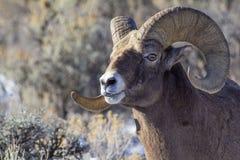 大垫铁绵羊公羊 库存照片