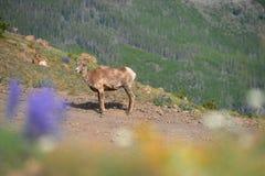 大垫铁绵羊只有一块垫铁在登上Washburn供徒步旅行的小道, 免版税图库摄影