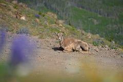 大垫铁绵羊只有一块垫铁在登上Washburn供徒步旅行的小道, 免版税库存照片