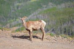 大垫铁绵羊只有一块垫铁在登上Washburn供徒步旅行的小道, 图库摄影