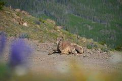 大垫铁绵羊只有一块垫铁在登上Washburn供徒步旅行的小道 免版税库存照片