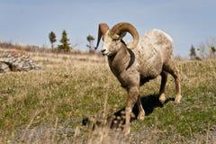 大垫铁绵羊在原野 免版税图库摄影