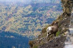 大垫铁绵羊在蒙大拿 库存照片