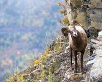 大垫铁绵羊在蒙大拿 免版税库存图片