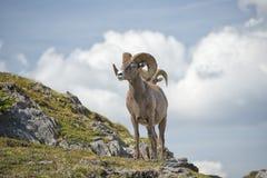 大垫铁绵羊画象 免版税库存图片