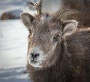 大垫铁绵羊 免版税库存照片