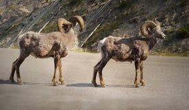 大垫铁绵羊Ram大型装配架Thinhorn 库存照片