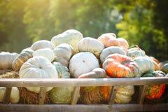 大堆在干草的南瓜在一个木推车收获愉快的感恩天的季节 收获节日 免版税库存照片