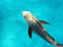 大堡礁。 大鱼在水中 库存照片