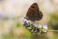 大墙壁褐色蝴蝶, Lasiommata maera,授粉  免版税库存图片