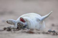 大声笑的海狮幼崽  免版税库存图片