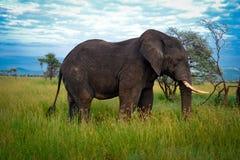 大大象伙伴, serengeti冒险徒步旅行队serengeti 库存照片