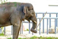 大大象在动物园的封入物走 免版税图库摄影
