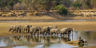 大大象牧群横穿河 免版税库存照片