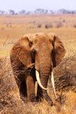 大大象-徒步旅行队肯尼亚 免版税库存图片