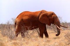 大大象-徒步旅行队肯尼亚 库存照片