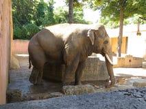 大大象 看起来平直的动物园的照相机大象 库存照片