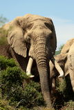 大大象tusker 免版税库存照片
