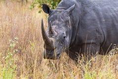 大头 一头大犀牛的画象 Meru,肯尼亚 图库摄影
