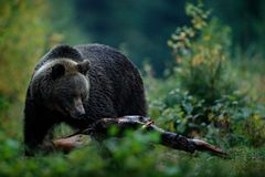 大女性棕熊哺养的befor冬天 斯洛伐克山Mala Fatra 在绿色森林危险动物的Evenig,黄色autum 免版税库存照片
