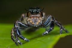 大女性跳的蜘蛛 免版税库存图片