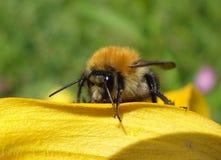 大好的土蜂 免版税库存照片