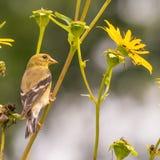 大婴孩/少年金翅雀-仍然反馈由父母-在明尼苏达河全国野生生物保护区在Bloomin 免版税库存图片