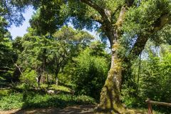 大小橡树树,加利福尼亚 库存照片