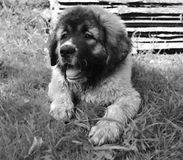 大小狗 免版税库存照片