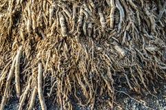 大小组树的干燥小根 图库摄影