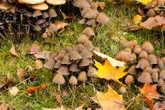 大小组og蘑菇在槭树叶子之间的草增长 库存照片