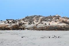 大小组在封印海岛, Hout海湾港口,开普敦,南非的海角 免版税图库摄影